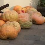 Chideock Pumpkin Weigh In