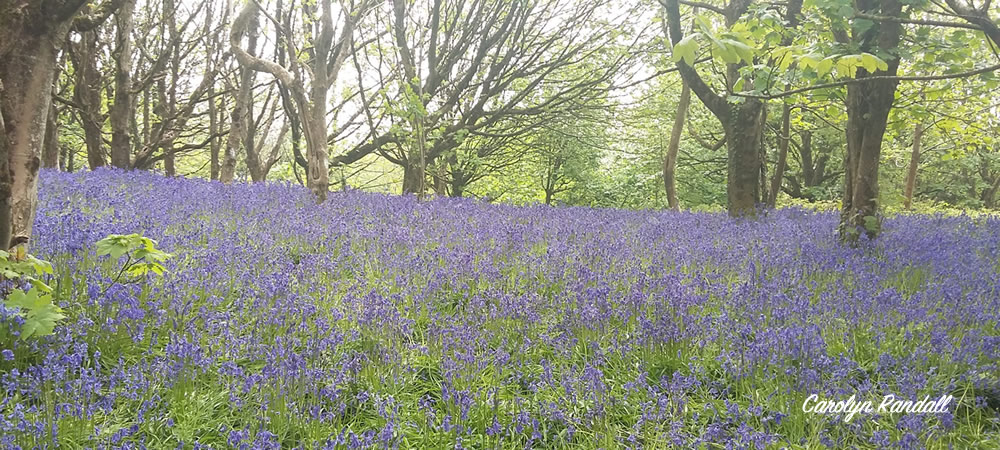 Bluebells at Eype Downs